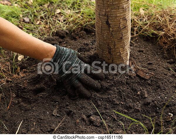 solo, plantado, árvore, mão - csp16511186