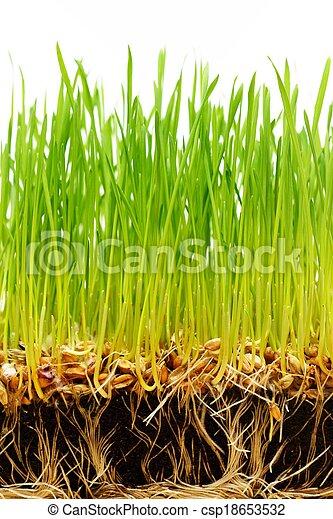 solo, sementes, verde, fresco, capim, raizes - csp18653532
