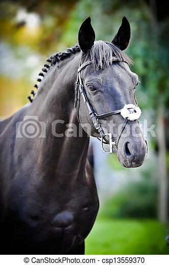 Portrait, schwarzes Trakehnerpferd auf grünem Hintergrund im Sommer - csp13559370