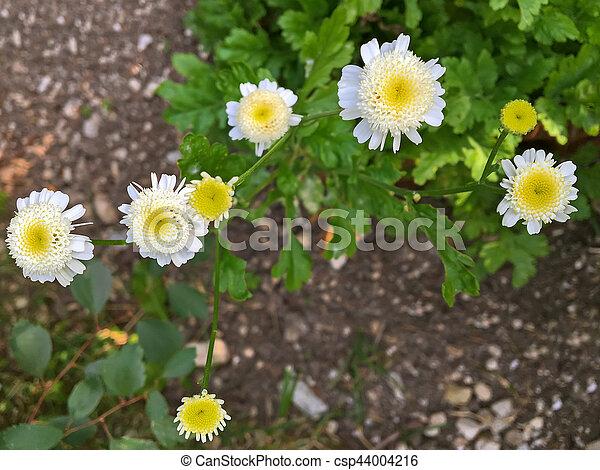 Sommer, pflanze, gelber , feverfew, während, weisse blumen ...