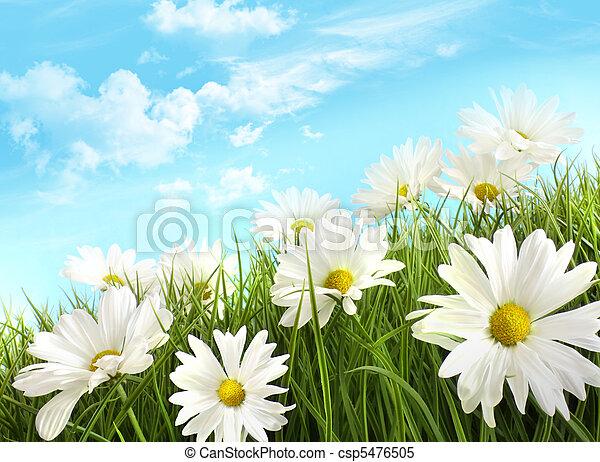 sommer, weißes, gras, gänseblümchen, groß - csp5476505