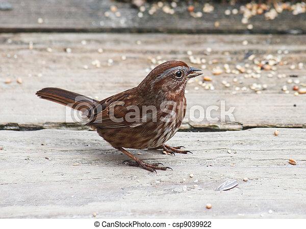 Song Sparrow - csp9039922