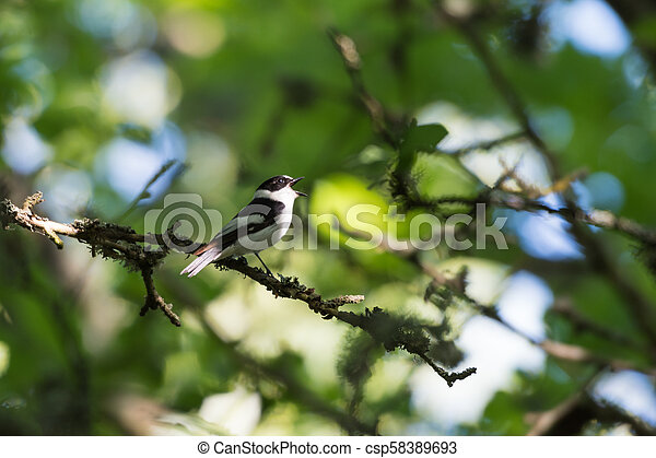 Songbird singing in a bright deciduous forest - csp58389693