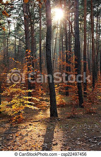 Autumnaler Wald und Sonnenstrahlen - csp22497456