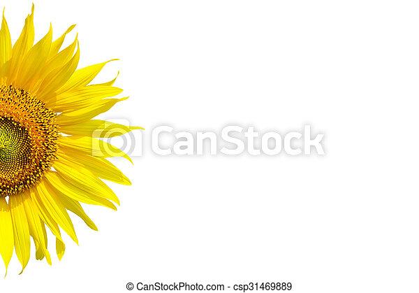 Sonnenblume - csp31469889