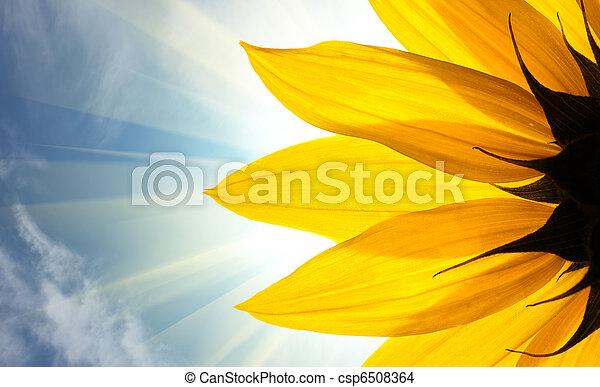 Sonnenblume - csp6508364