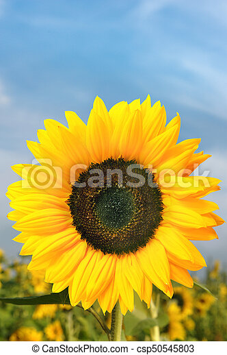 Sonnenblume - csp50545803