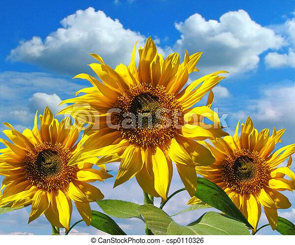 sonnenblumen, drei - csp0110326