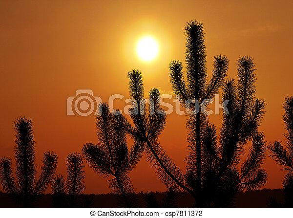 Pinien gegen Sonnenuntergang - csp7811372