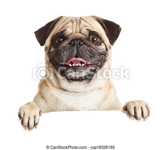 sopra, billboard., sopra, cane pug, o, fondo, vuoto, ritratto, bianco, bandiera, segno. - csp18326185