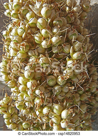Maíz de sorgo bicolor, quijada - csp14820953