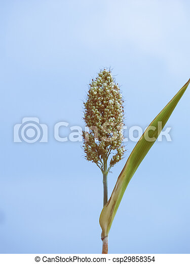 Maíz de sorgo bicolor, mandíbula - csp29858354