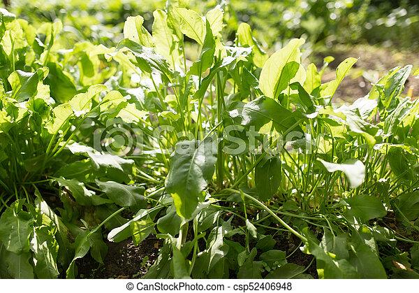 sorrel leaves in the garden - csp52406948