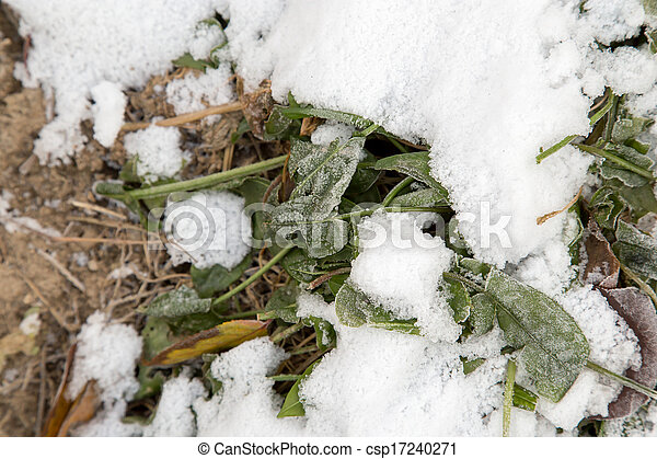 sorrel leaves in the snow - csp17240271