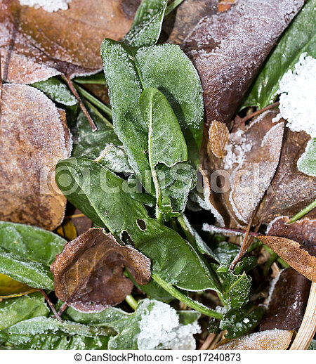 sorrel leaves in the snow - csp17240873