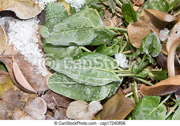 sorrel leaves in the snow - csp17240856