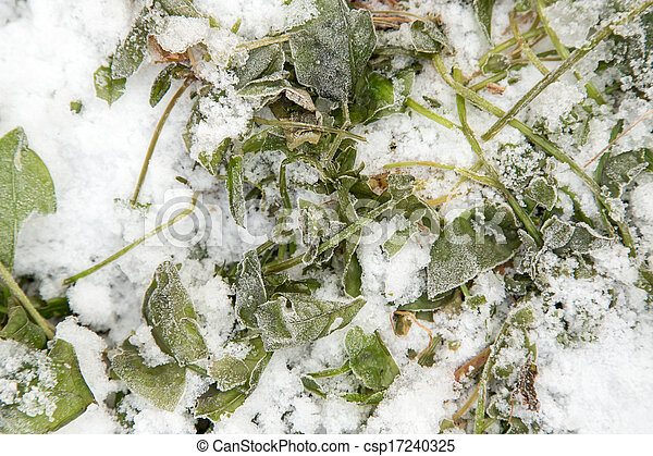 sorrel leaves in the snow - csp17240325