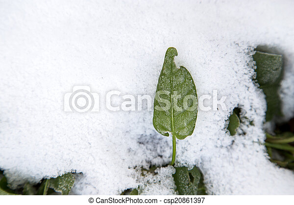 sorrel leaves in the snow - csp20861397