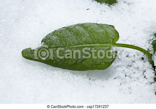 sorrel leaves in the snow - csp17241237