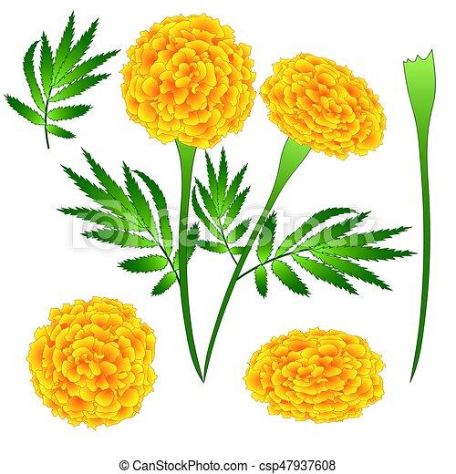 Souci Fleur Illustration Isole Arriere Plan Vecteur Blanc
