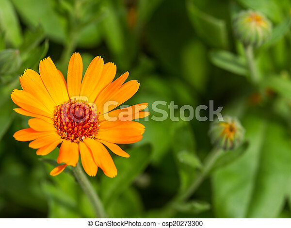 souci, macro, pot, détail, bokeh, backg, officinalis), (calendula - csp20273300