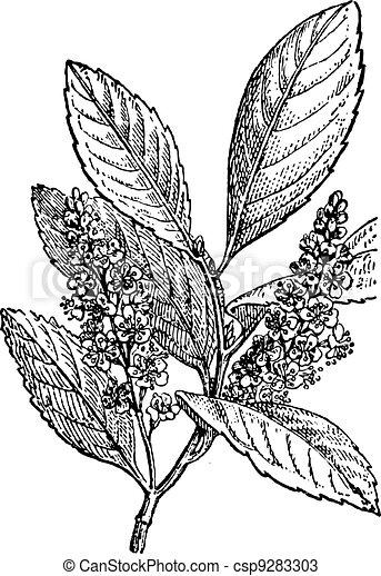 Sour Cherry or Prunus cerasus, vintage engraving - csp9283303