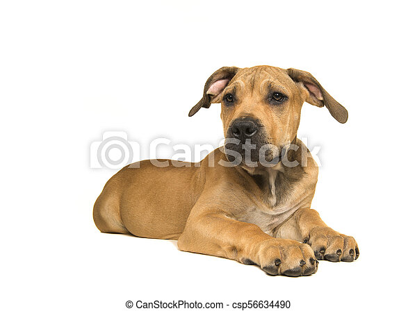 South African mastiff young female dog lying down and on a white background  seen from the side