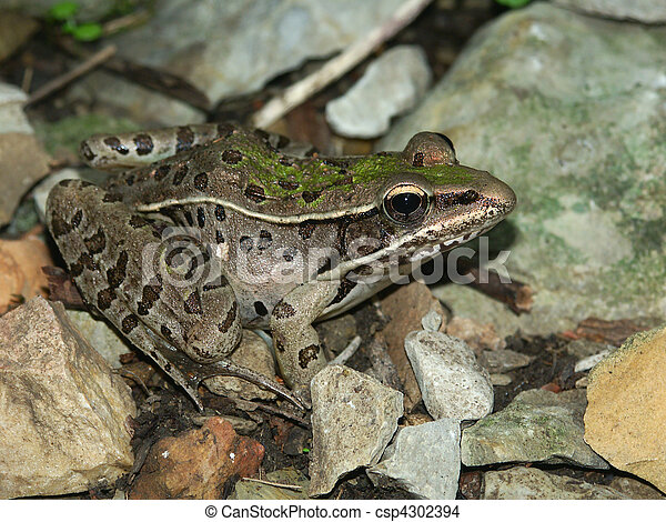 Southern Leopard Frog - Illinois - csp4302394