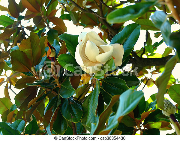 Southern Magnolia Flower Southern Magnolia Tree Flower
