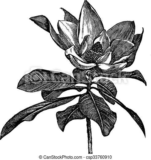 Southern magnolia or Magnolia grandiflora vintage engraving - csp33760910
