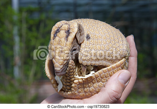 Southern three-banded armadillo (Tolypeutes matacus) - csp19730823