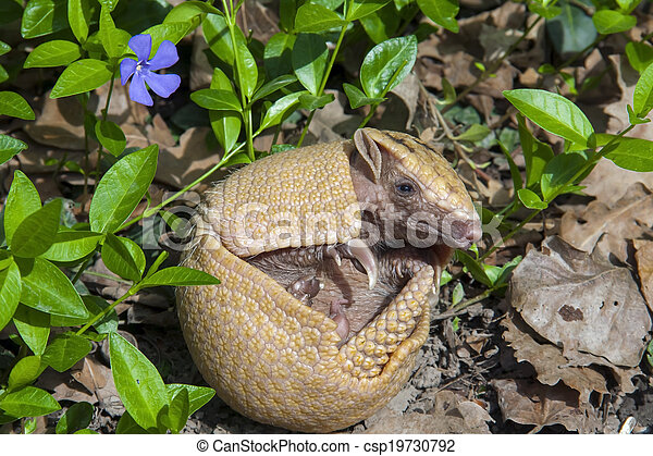 Southern three-banded armadillo (Tolypeutes matacus) - csp19730792