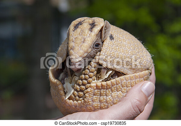 Southern three-banded armadillo (Tolypeutes matacus) - csp19730835