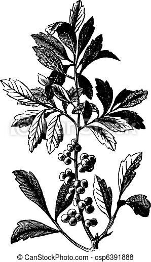 Southern Wax Myrtle or Southern Bayberry or Candleberry or Tallow or Myrica cerifera vintage engraving - csp6391888
