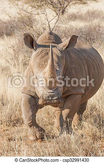 Southern White Rhino  - csp32991430