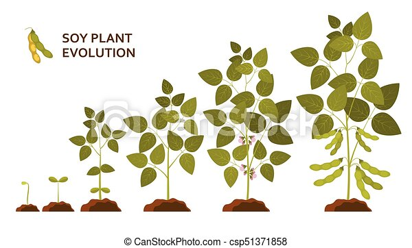 Soy plant evolution with leaves, flowers and pods - csp51371858