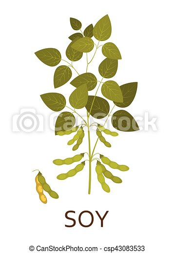 Soy plant with leaves and pods. Vector illustration. - csp43083533