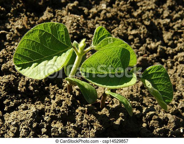 soy, seedlings - csp14529857