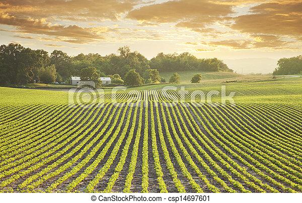 Soybean field at sundown - csp14697601