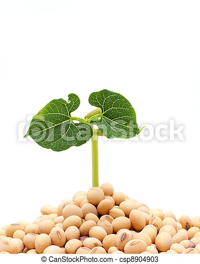 Soybean sprout isolated on white background - csp8904903