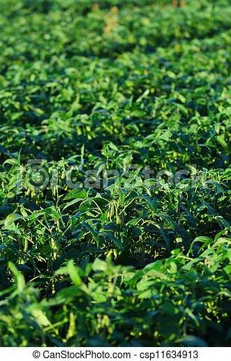 soybeans growing on a farm - csp11634913