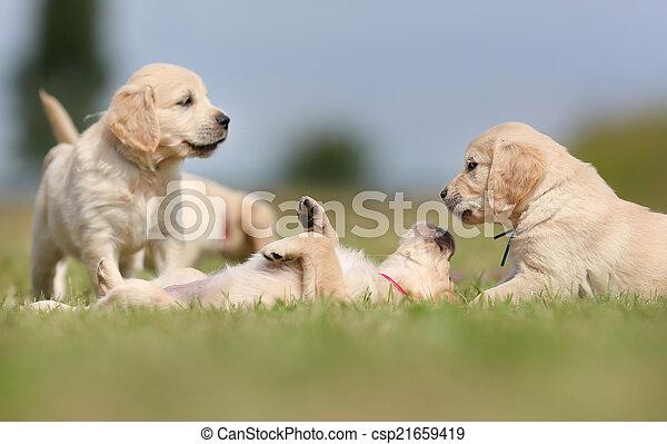 spaß, goldener apportierhund, haben, hundebabys - csp21659419
