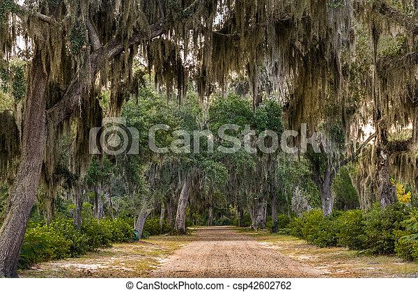 Spanish Moss in Live Oak Trees - csp42602762