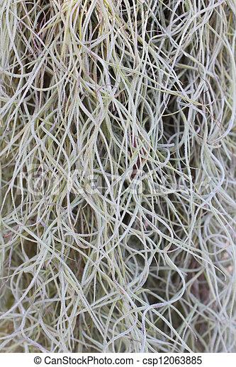 Spanish Moss - csp12063885