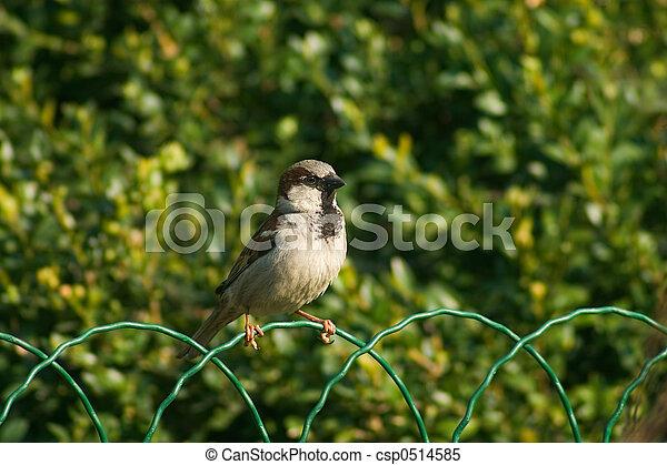 Sparrow bird on the fence - csp0514585