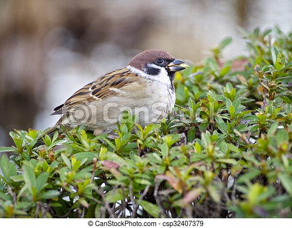 Sparrow (close-up) at Tokyo - csp32407379