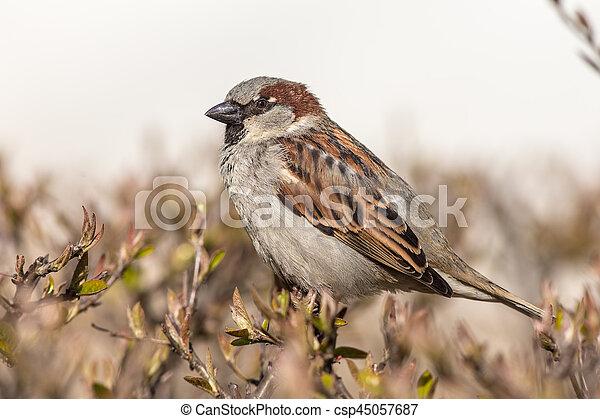 sparrow close up - csp45057687