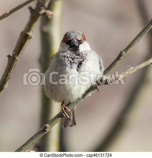 sparrow close up - csp46131724