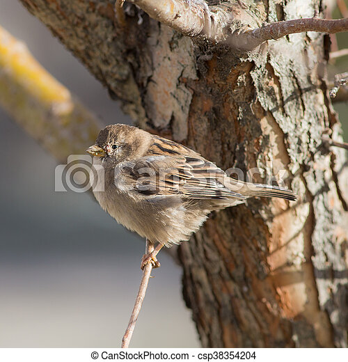 sparrow close up - csp38354204