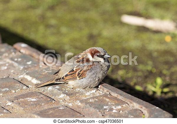 Sparrow close up - csp47036501